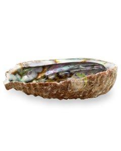 Abalone pour fumigation