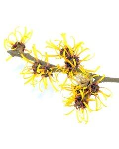 Eau florale d'hamamélis Bio